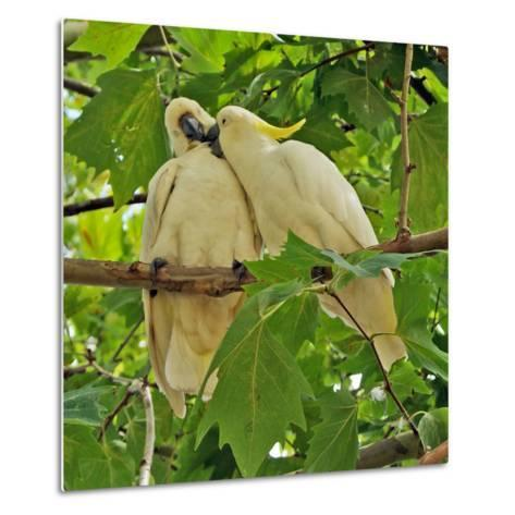 A Male Sulphur Crested Cockatoo Preening His Mate, Sydney, New South Wales--Metal Print
