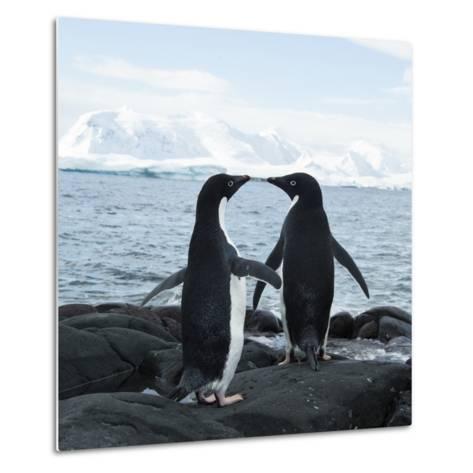 Adelie Penguin-Joe McDonald-Metal Print
