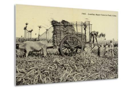 Loading Sugar Cane in Field, Cuba--Metal Print