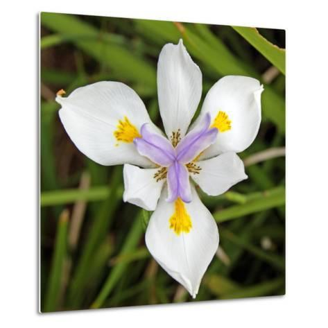 Close-Up of an Iris--Metal Print