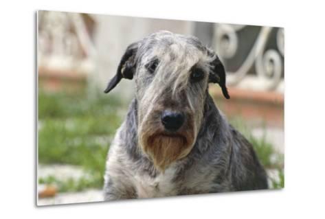 Cesky Terrier Dog--Metal Print