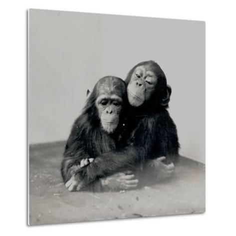 Johnnie and a Friend, Two of ZSL London Zoo's Chimpanzees, 1923-Frederick William Bond-Metal Print