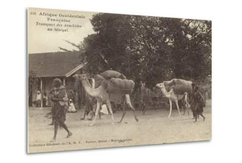 French West Africa - Transporting Peanuts in Senegal--Metal Print