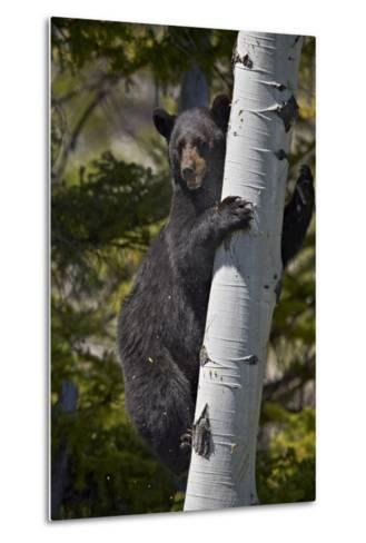 Black Bear (Ursus Americanus) Sow Climbing a Tree-James-Metal Print