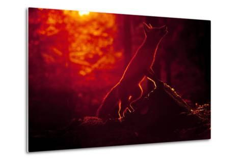 Red Fox (Vulpes Vulpes) Looking Up into Tree at Sunset, Backlit, Black Forest, Germany-Klaus Echle-Metal Print