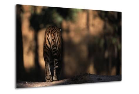 Rear View of Male Bengal Tiger Walking {Panthera Tigris Tigris} Kanha Np, India-Nick Garbutt-Metal Print