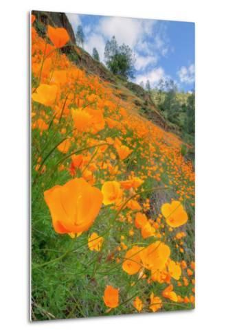 Grand Poppy Landscape Revisited, Merced Canyon-Vincent James-Metal Print