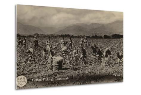Postcard Depicting Cotton Picking in the Transvaal--Metal Print