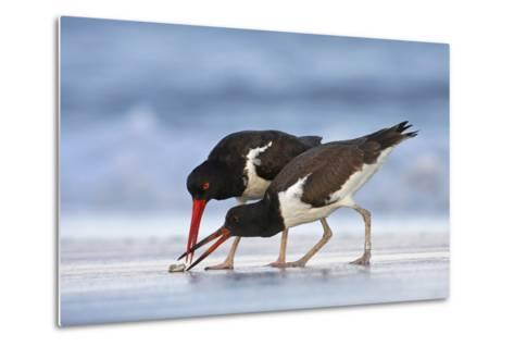 Young American Oystercatcher (Haematopus Palliatus) Snatching Food from Adult on the Shoreline-Mateusz Piesiak-Metal Print