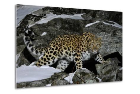 Wild Amur Leopard (Panthera Pardus Orientalis) on Rocky Hillside, Kedrovaya Pad Reserve, Russia-Vladimir Medvedev-Metal Print