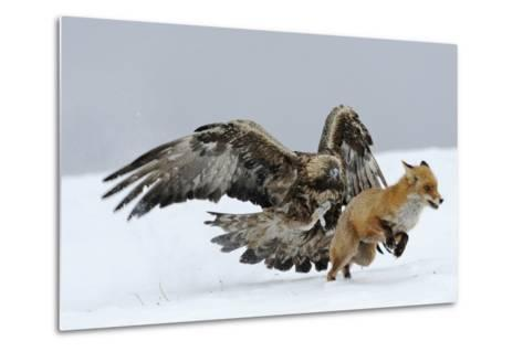 Golden Eagle (Aquila Chrysaetos) Adult Defending Carcass from Red Fox (Vulpes Vulpes), Bulgaria-Stefan Huwiler-Metal Print
