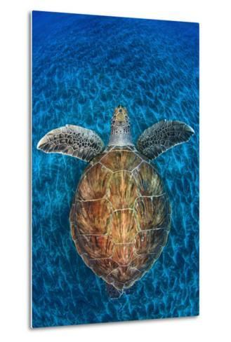 Green Turtle, (Chelonia Mydas), Swimming over Volcanic Sandy Bottom, Armenime Cove, Canary Islands-Jordi Chias-Metal Print