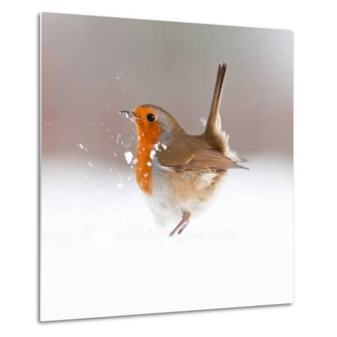 Robin (Erithacus Rubecula) Displaying in Snow, Nr Bradworthy, Devon, UK-Ross Hoddinott-Metal Print