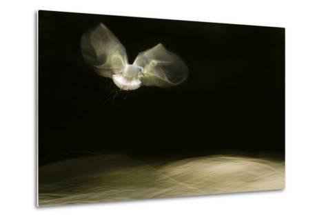 Black-Headed Gull (Chroicocephalus Ridibundus) in Flight, Cheshire, UK-Ben Hall-Metal Print