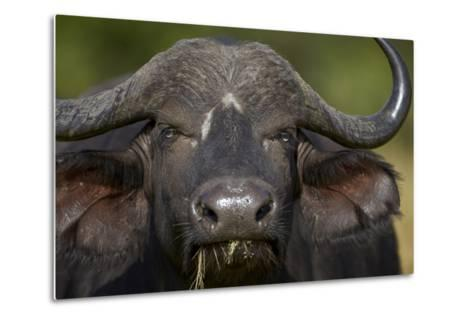 Cape Buffalo (African Buffalo) (Syncerus Caffer), Kruger National Park, South Africa, Africa-James-Metal Print