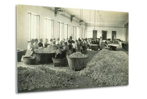 Sorting Roses, from 'Industrie Des Parfums a Grasse', C.1900--Metal Print
