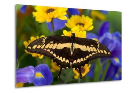 Thoas Swallowtail Resting on Irises and Daisies-Darrell Gulin-Metal Print