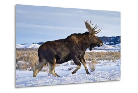 A Bull Moose Walks in a Snow-Covered Antelope Flats in Grand Teton National Park, Wyoming-Mike Cavaroc-Metal Print
