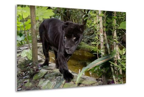Belize, Belize City, Belize City Zoo. Black Panther (Captive)-Cindy Miller Hopkins-Metal Print