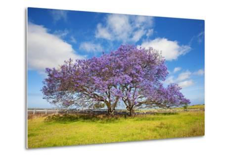 Jacaranda Trees in Bloom in the Up-Country on Maui-Ron Dahlquist-Metal Print