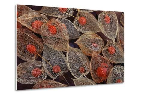 Fruits of a Chinese Lantern Plant-Darrell Gulin-Metal Print