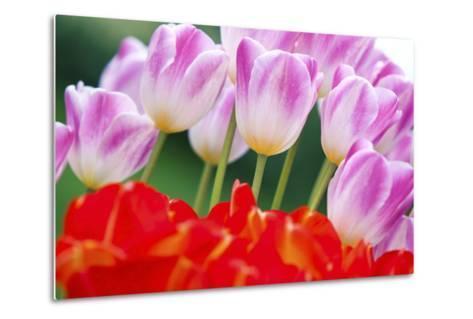 Tulips in Spring-Craig Tuttle-Metal Print