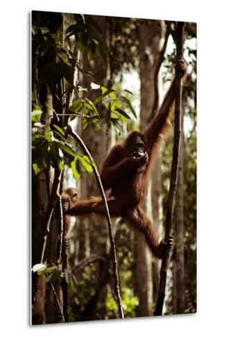 Orangutans in the Semenggoh Nature Reserve on the Island of Borneo in Malaysia-D. Scott Clark-Metal Print
