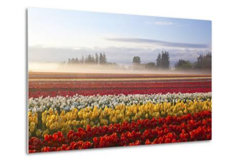 Sunrise over Tulip Field, Wooden Shoe Tulip Farm, Woodburn, Oregon-Craig Tuttle-Metal Print