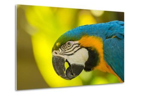 USA, California, Santa Barbara. Profile of Macaw at Santa Barbara Zoo-Jaynes Gallery-Metal Print