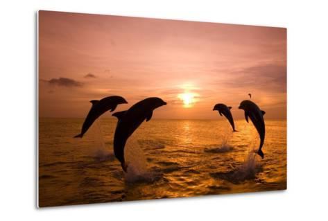 Bottlenosed Dolphins Jumping-Craig Tuttle-Metal Print