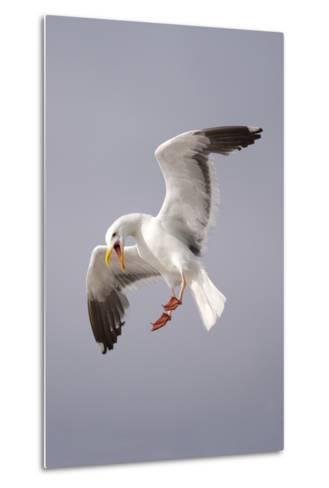 USA, California, La Jolla. a Seagull Flying over the Pacific Coast-Jaynes Gallery-Metal Print