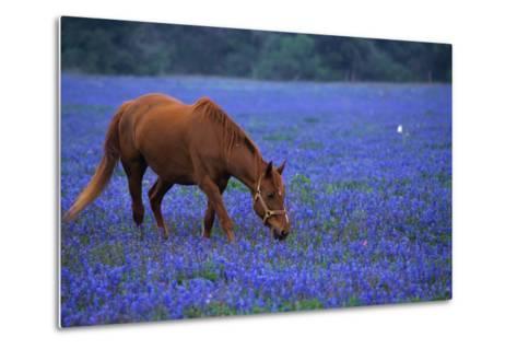 Horse Grazing Among Bluebonnets-Darrell Gulin-Metal Print