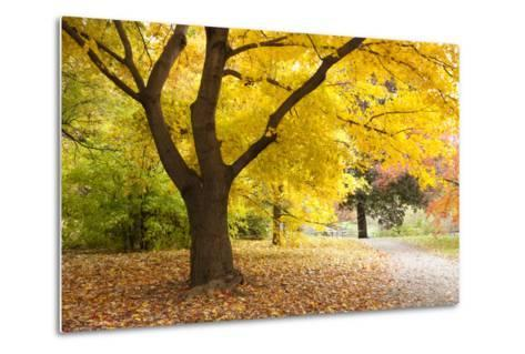 A Maple Tree in Full Colour in Arnold Arboretum, Boston, Usa--Metal Print