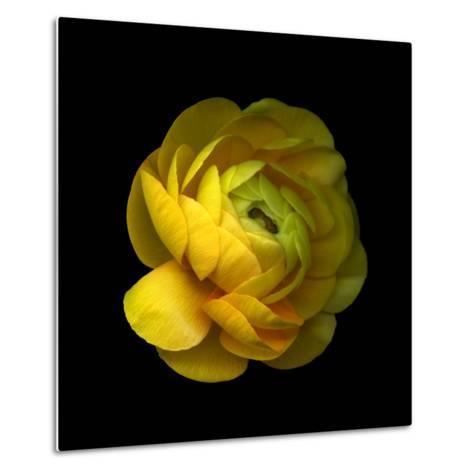 Ranunculus Close-Up-Magda Indigo-Metal Print