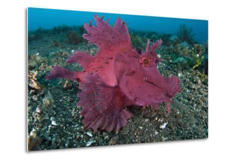 A Bright Pink-Purple Paddle-Flap Scorpionfish on Volcanic Sand, Bali--Metal Print