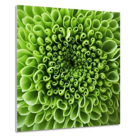 GREEN SHAMROCK CHRYSANTHEMUM-Clive Nichols-Metal Print