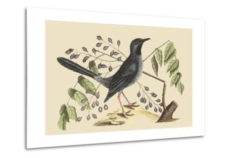 Red Legged Thrush-Mark Catesby-Metal Print