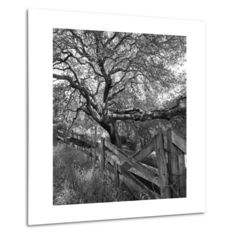 Oak Tree and Fence 2 (Native Woodland, Oakland, CA, Black and White)-Henri Silberman-Metal Print