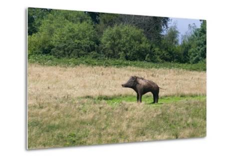 Boar/Hog Willow Sculpture in Meadow--Metal Print