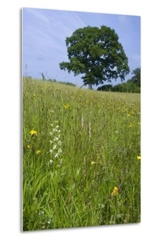 Greater Butterfly Orchid (Platanthera Chlorantha) Flowering on Hay Meadow on Set-Aside Field in Rur--Metal Print