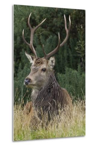 Close-Up of a Red Deer (Cervus Elaphus) Stag During Rut Resting--Metal Print