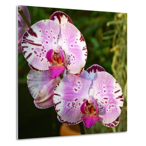 New Orchid Phalaenopsis 'Diamond Sky' on Display at the Kew Orchid Festival, Kew Gardens, London--Metal Print