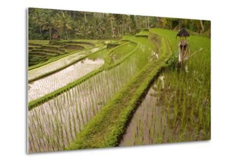 Rice Field, Near the Town of Bangli. Ubud. Bali--Metal Print