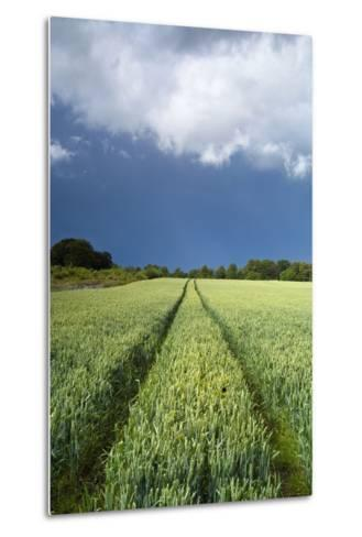 Wheatfield with Tractor Track, Near Belsay, Northumberland, UK--Metal Print