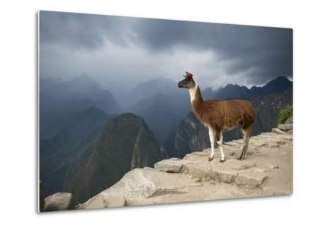 A Llama Stands on a Terrace High in the Andes-Jim Richardson-Metal Print