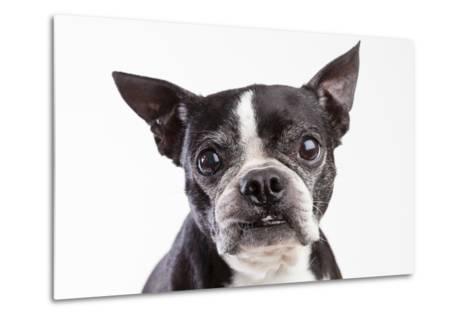 Portrait of an Older Boston Terrier Against a White Background-Hannele Lahti-Metal Print