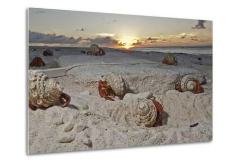 Hermit Crabs Crawl on a Sandy Beach on the Deserted Starbuck Island in the Southern Line Islands-Mauricio Handler-Metal Print