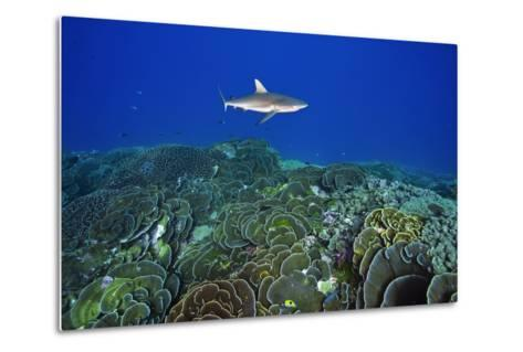 A Gray Reef Shark Patrols over a Coral Reef in Pristine Waters Off Millennium Atoll-Mauricio Handler-Metal Print