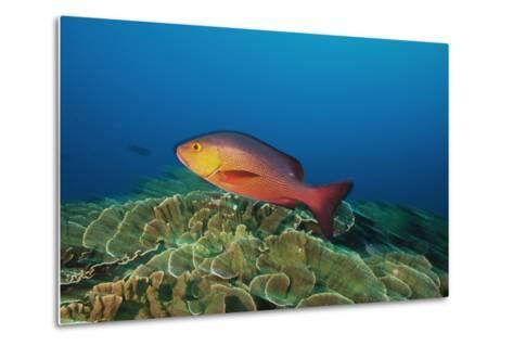A Red Snapper Cruises over a Pristine Fringing Coral Reef Off Millennium Atoll-Mauricio Handler-Metal Print