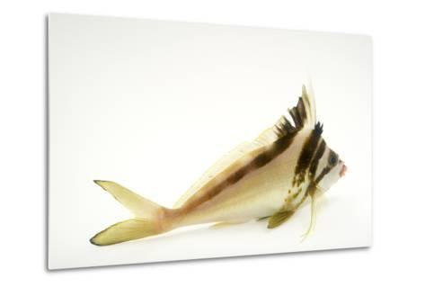 A Western Crested Morwong, Cheilodactylus Gibbosus, at Omaha's Henry Doorly Zoo and Aquarium-Joel Sartore-Metal Print
